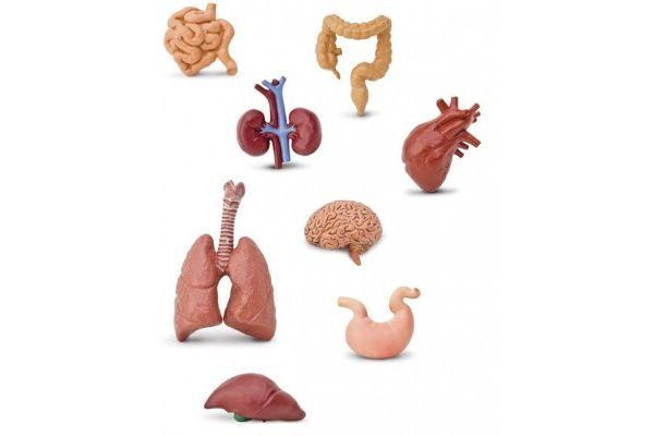 naravoslovje Safari Ltd Figurice, človeški organi, Safari Ltd 689304